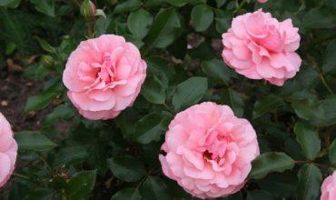 саженцы роз в калининграде